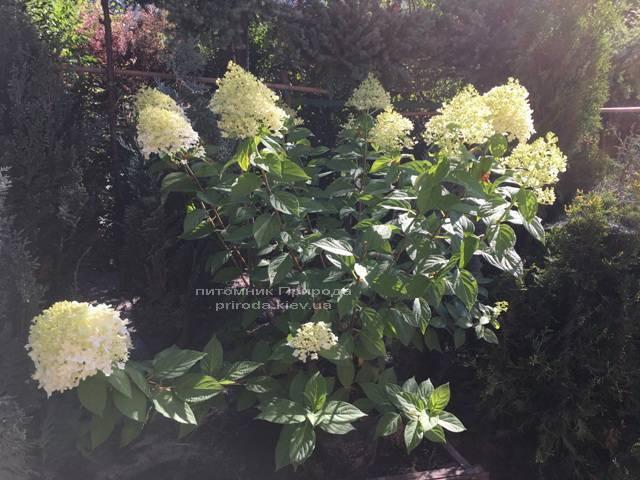 Гортензія волотисте Лаймлайт (Hydrangea paniculata Limelight) ФОТО Розплідник рослин Природа Priroda (3)