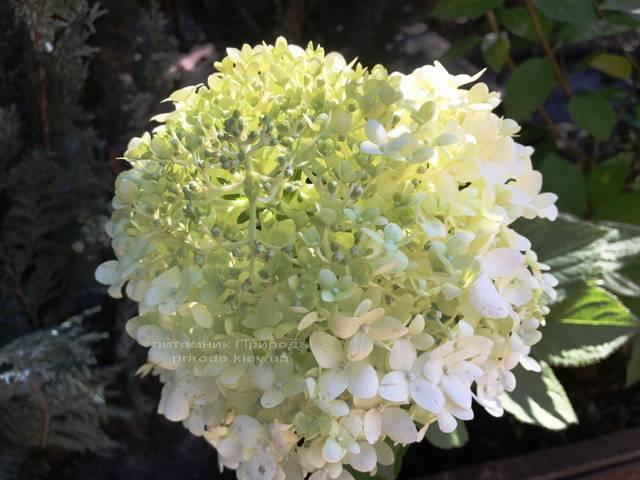 Гортензія волотисте Лаймлайт (Hydrangea paniculata Limelight) ФОТО Розплідник рослин Природа Priroda (4)