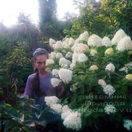 Гортензія волотисте Лаймлайт (Hydrangea paniculata Limelight) на штамбі ФОТО Розплідник рослин Природа Priroda (5)