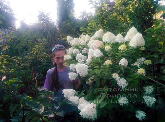 Гортензия метельчатая Лаймлайт (Hydrangea paniculata Limelight) на штамбе ФОТО Питомник растений Природа Priroda (5)