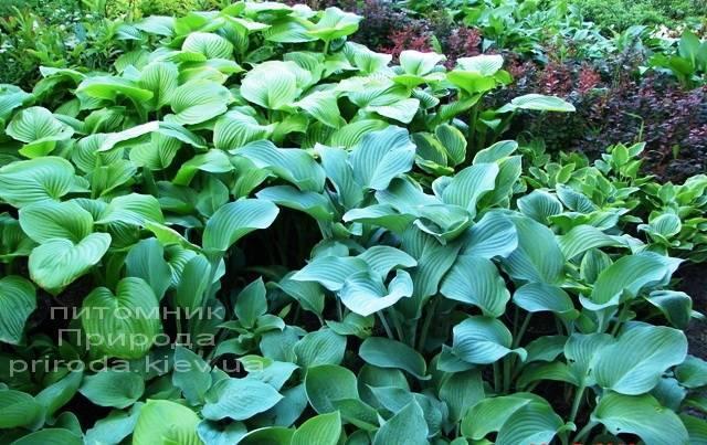 Хоста (Hosta) ФОТО Питомник растений Природа Priroda (1)