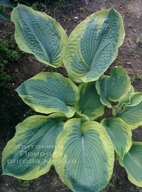 Хоста (Hosta) ФОТО Питомник растений Природа Priroda (10)