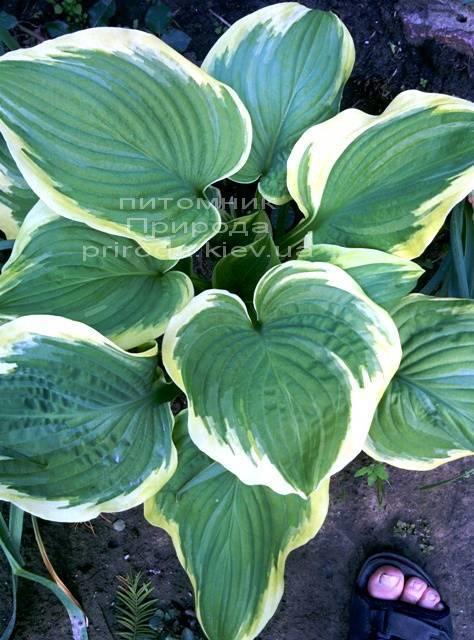 Хоста (Hosta) ФОТО Питомник растений Природа Priroda (11)