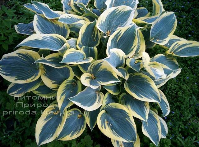 Хоста (Hosta) ФОТО Питомник растений Природа Priroda (12)