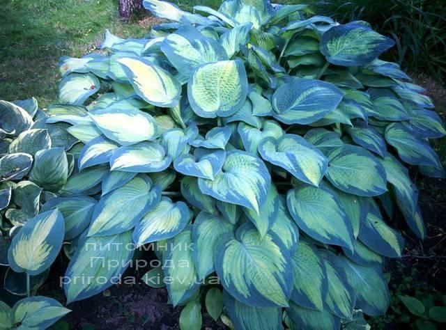 Хоста (Hosta) ФОТО Питомник растений Природа Priroda (14)