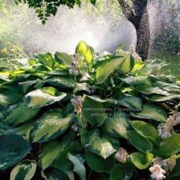 Хоста (Hosta) ФОТО Розплідник рослин Природа Priroda (19)