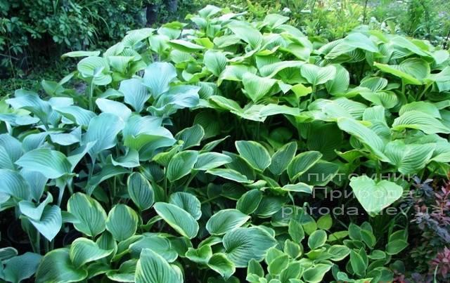 Хоста (Hosta) ФОТО Питомник растений Природа Priroda (2)