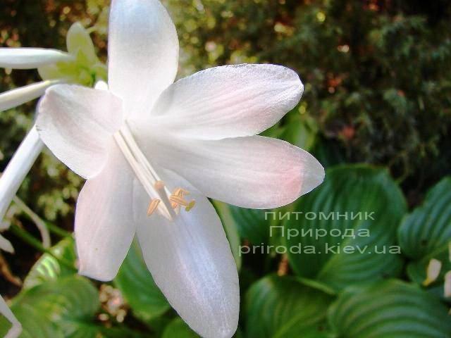 Хоста (Hosta) ФОТО Питомник растений Природа Priroda (3)