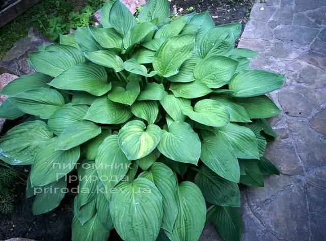Хоста (Hosta) ФОТО Питомник растений Природа Priroda (6)