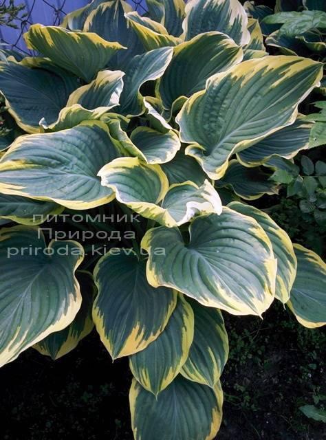Хоста (Hosta) ФОТО Питомник растений Природа Priroda (7)