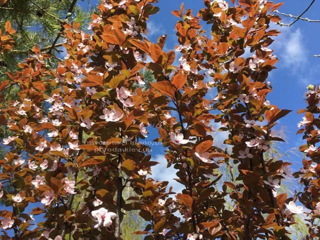 Слива цистена на штамбе (Prunus cistena) ФОТО Питомник растений Природа Priroda (20)