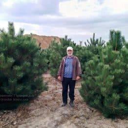 Сосна чорна / австрійська (Pinus nigra / austriaca) ФОТО Розплідник рослин Природа Priroda (55)