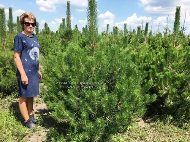 Сосна чорна / австрійська (Pinus nigra / austriaca) ФОТО Розплідник рослин Природа Priroda (43)