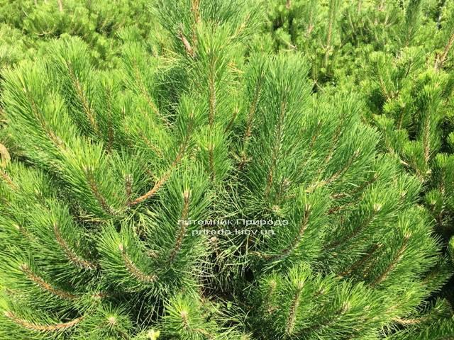Сосна чорна / австрійська (Pinus nigra / austriaca) ФОТО Розплідник рослин Природа Priroda (44)