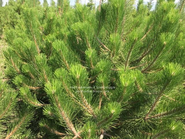 Сосна чорна / австрійська (Pinus nigra / austriaca) ФОТО Розплідник рослин Природа Priroda (45)