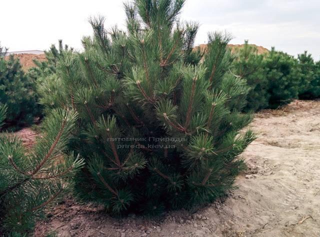 Сосна чорна / австрійська (Pinus nigra / austriaca) ФОТО Розплідник рослин Природа Priroda (46)