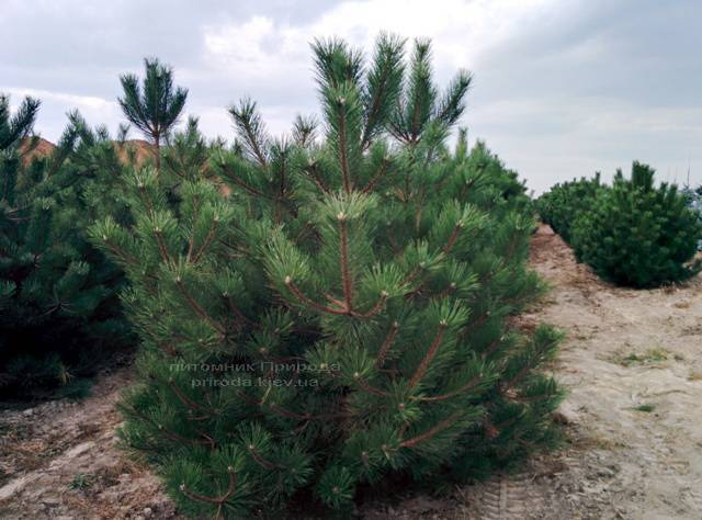 Сосна чёрная/австрийская (Pinus nigra/austriaca) ФОТО Питомник растений Природа Priroda (47)