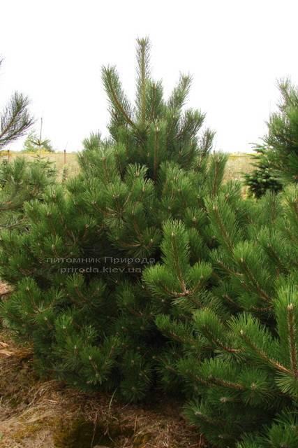 Сосна чёрная/австрийская (Pinus nigra/austriaca) ФОТО Питомник растений Природа Priroda (48)
