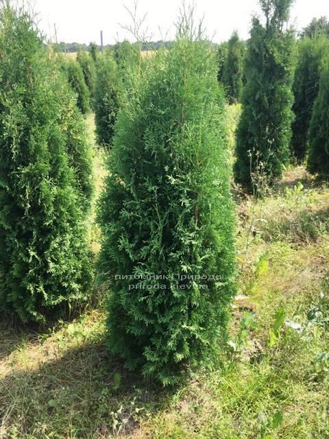 Туя західна колоновидна Колумна (Thuja occidentalis Columna) ФОТО Розплідник рослин Природа Priroda (62)