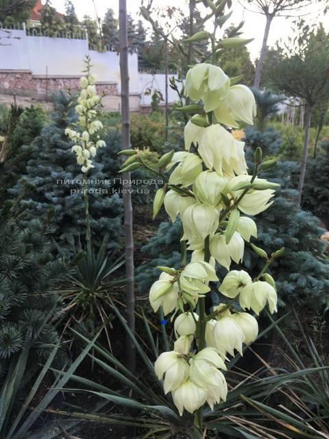 Юкка нитчатая (Yucca filamentosa) ФОТО Питомник растений Природа Priroda (6)