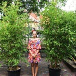 Бамбук (Phyllostachys aureosulcata) ФОТО Питомник растений Природа (9)