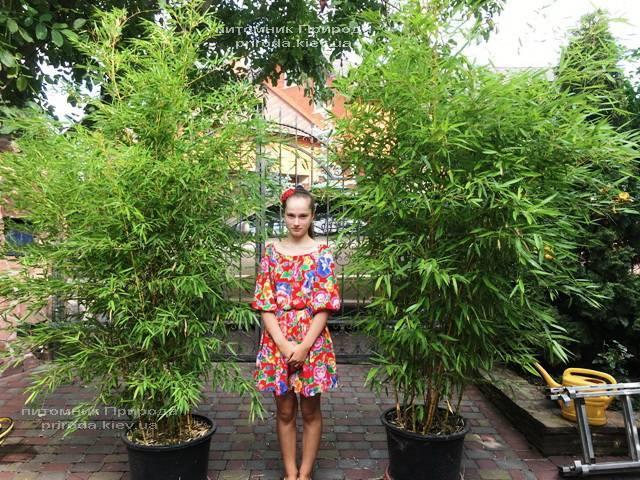 Бамбук (Phyllostachys aureosulcata) ФОТО Розплідник рослин Природа (9)
