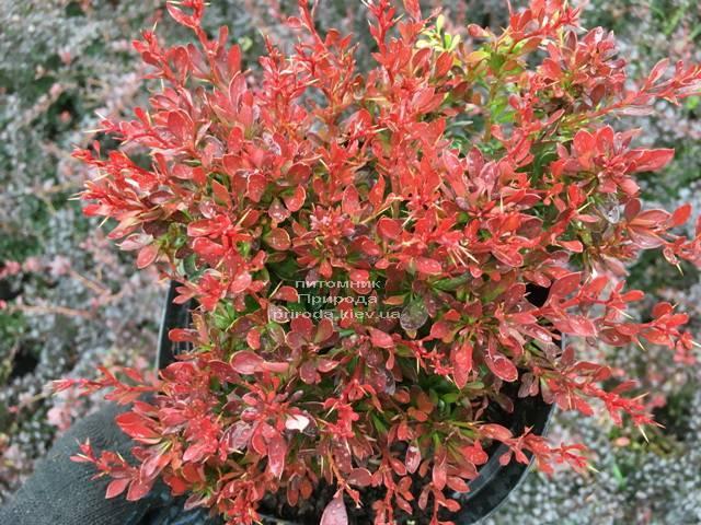 Барбарис Тунберга Багатель (Berberis thunbergii Bagatelle) ФОТО Питомник растений Природа Priroda (98)