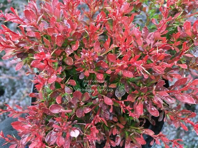 Барбарис Тунберга Багатель (Berberis thunbergii Bagatelle) ФОТО Питомник растений Природа Priroda (99)
