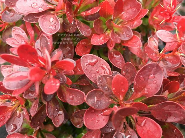 Барбарис Тунберга Лутин Руж (Berberis thunbergii Lutin Rouge) ФОТО Питомник растений Природа Priroda (105)