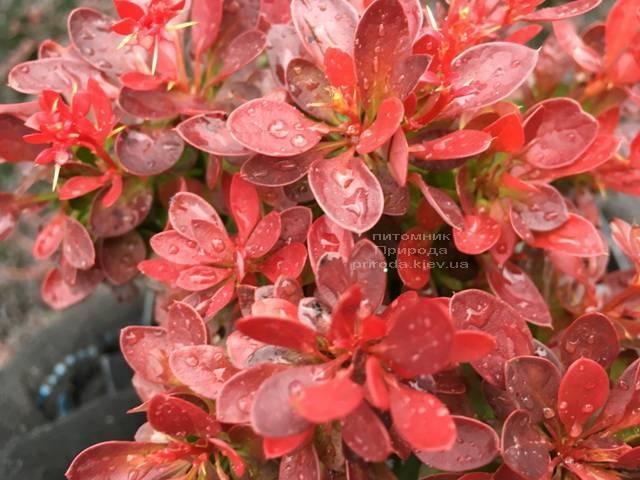 Барбарис Тунберга Лутин Руж (Berberis thunbergii Lutin Rouge) ФОТО Питомник растений Природа Priroda (106)