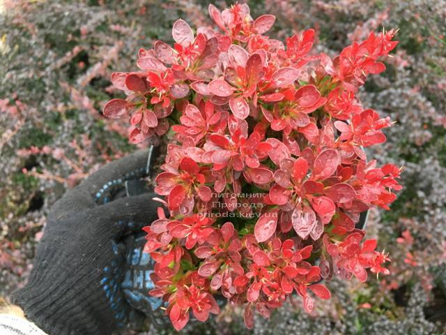 Барбарис Тунберга Лутин Руж (Berberis thunbergii Lutin Rouge) ФОТО Питомник растений Природа Priroda (107)