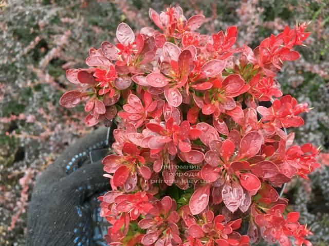 Барбарис Тунберга Лутин Руж (Berberis thunbergii Lutin Rouge) ФОТО Питомник растений Природа Priroda (109)