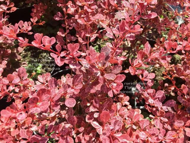 Барбарис Тунберга Роуз Глоу (Berberis thunbergii Rose Glow) ФОТО Розплідник рослин Природа Priroda (87)
