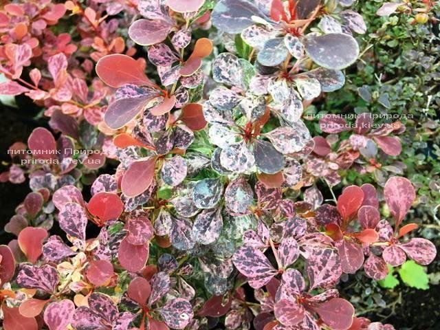 Барбарис Тунберга Роуз Глоу (Berberis thunbergii Rose Glow) ФОТО Розплідник рослин Природа Priroda (88)