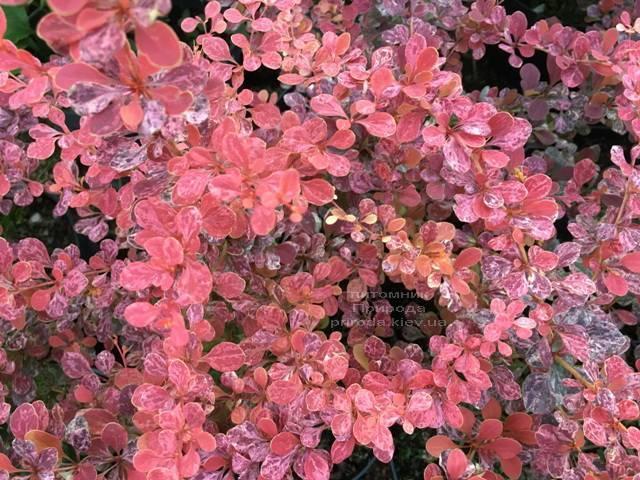 Барбарис Тунберга Роуз Глоу (Berberis thunbergii Rose Glow) ФОТО Розплідник рослин Природа Priroda (89)