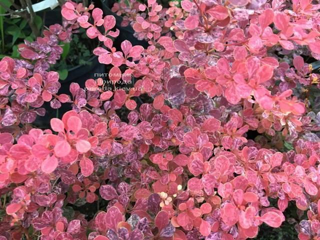 Барбарис Тунберга Роуз Глоу (Berberis thunbergii Rose Glow) ФОТО Розплідник рослин Природа Priroda (90)