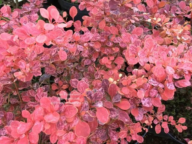 Барбарис Тунберга Роуз Глоу (Berberis thunbergii Rose Glow) ФОТО Розплідник рослин Природа Priroda (91)