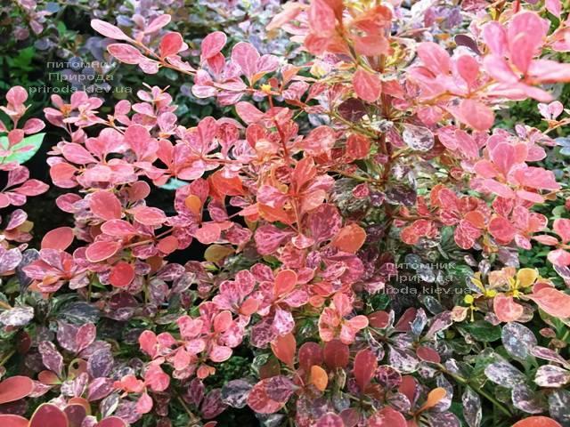 Барбарис Тунберга Роуз Глоу (Berberis thunbergii Rose Glow) ФОТО Розплідник рослин Природа Priroda (93)