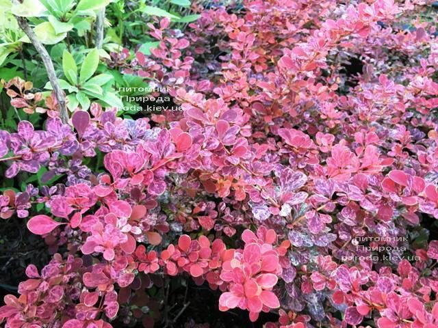 Барбарис Тунберга Роуз Глоу (Berberis thunbergii Rose Glow) ФОТО Розплідник рослин Природа Priroda (94)