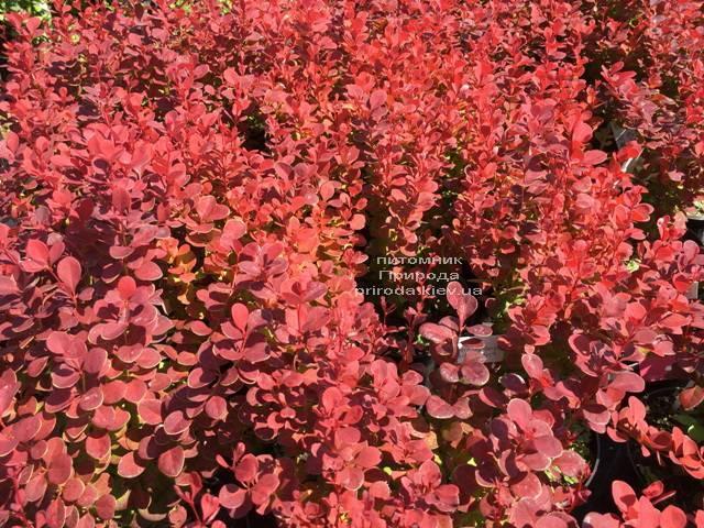Барбарис Тунберга Оранж Рокет (Berberis thunbergii Orange Rocket) ФОТО Питомник растений Природа Priroda (78)