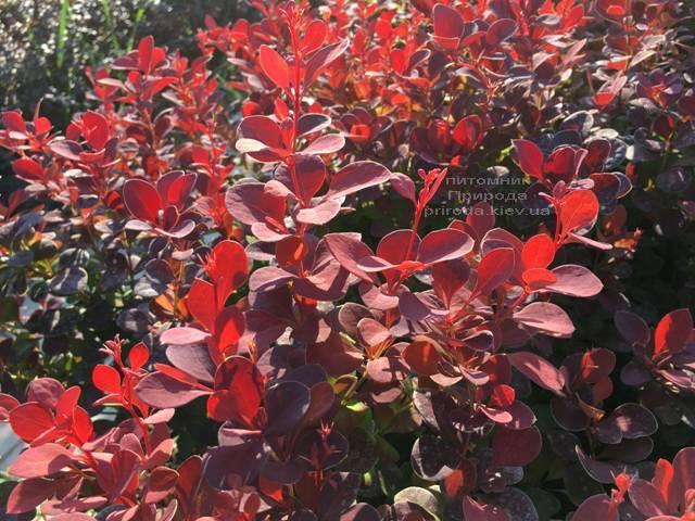 Барбарис Тунберга Оранж Рокет (Berberis thunbergii Orange Rocket) ФОТО Питомник растений Природа Priroda (80)
