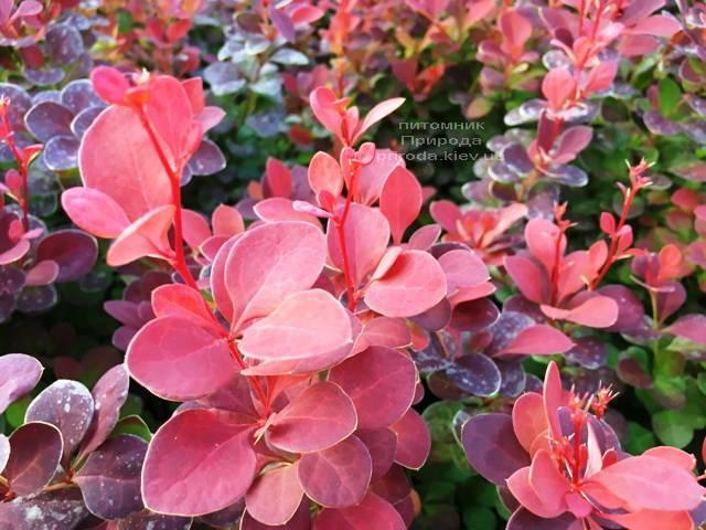 Барбарис Тунберга Оранж Рокет (Berberis thunbergii Orange Rocket) ФОТО Питомник растений Природа Priroda (82)