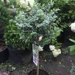 Бересклет Форчун Емералд Гаета (Euonymus fortunei Emerald Gaiety) ФОТО Розплідник рослин Природа Priroda (11)