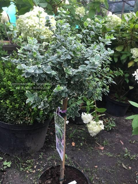 Бересклет Форчуна Эмералд Гаети (Euonymus fortunei Emerald Gaiety) ФОТО Питомник растений Природа Priroda (15)