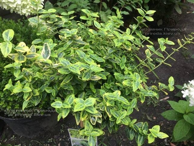 Бересклет Форчуна Эмералд Голд (Euonymus fortunei Emerald Gold) ФОТО Питомник растений Природа Priroda (16)