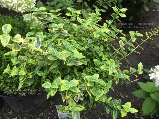Бересклет Форчун Емералд Голд (Euonymus fortunei Emerald Gold) ФОТО Розплідник рослин Природа Priroda (16)