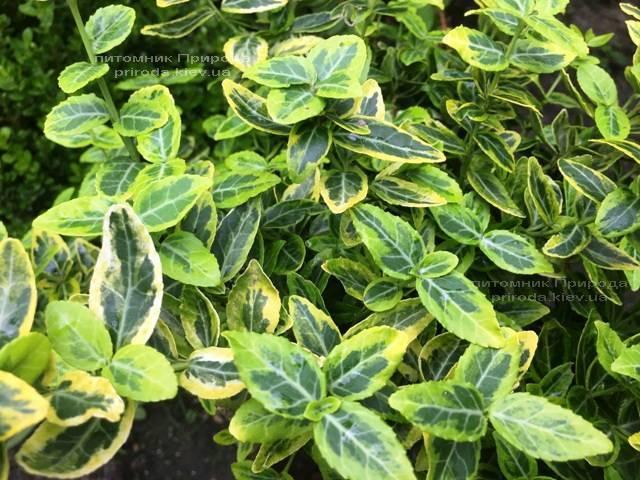 Бересклет Форчуна Эмералд Голд (Euonymus fortunei Emerald Gold) ФОТО Питомник растений Природа Priroda(17)