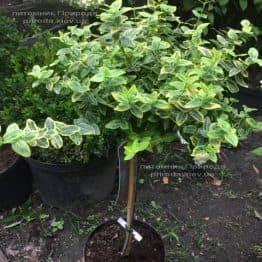 Бересклет Форчун Емералд Голд (Euonymus fortunei Emerald Gold) ФОТО Розплідник рослин Природа Priroda (19)