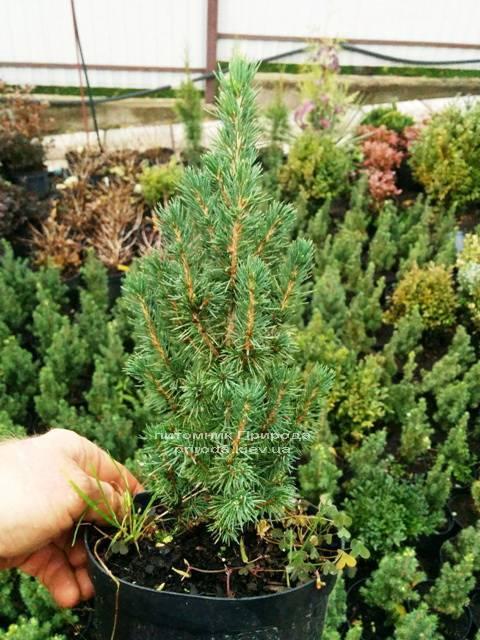 Ель канадская Коника (Picea glauca Conica) ФОТО Питомник растений Природа Priroda (138)