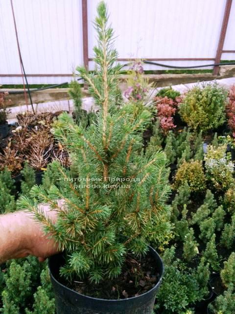 Ель канадская Коника (Picea glauca Conica) ФОТО Питомник растений Природа Priroda (139)